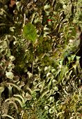 image of lichenes  - Micro landscape of lichen grass and moss on forest floor - JPG