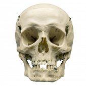 foto of cranium  - Human skull on isolated white background - JPG