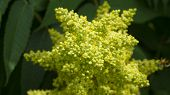 picture of cluster  - Yellow and Green Sumac Tree Bloom Cluster - JPG