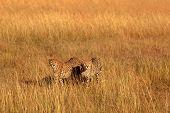 stock photo of cheetah  - Male cheetahs walking in grass and looking for pray in Masai Mara Kenya - JPG