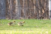 foto of baby goose  - A pair of determined baby Canadian Geese  - JPG