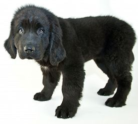 stock photo of newfoundland puppy  - Newfoundland puppy the looks sad or is giving her best puppy eyes to get something on a white background - JPG