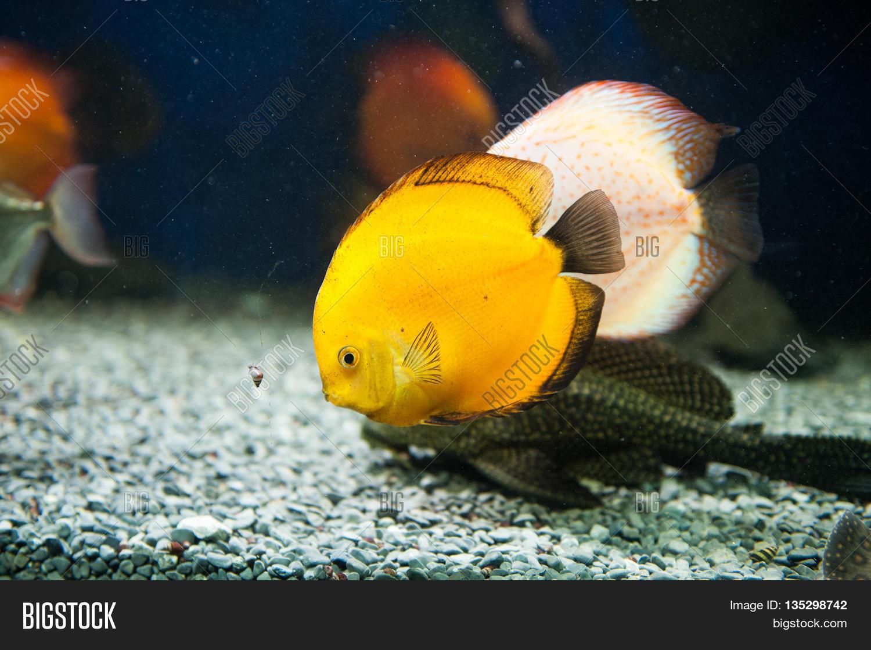 Beautiful yellow zebrasoma salt image photo bigstock for Yellow fish tank water