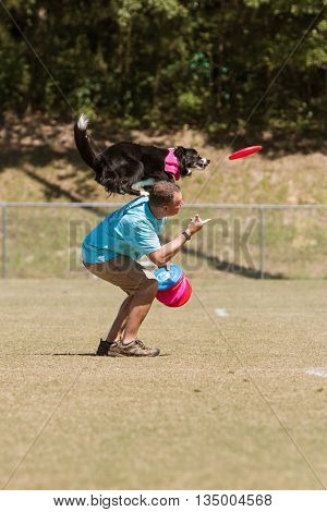 SNELLVILLE, GA - MAY 14  2016:  A man tosses a frisbee in the air and dog balancing on man's shoulders prepares to jump to catch frisbee in midair at Pawfest a dog festival in Snellville GA on May 14 2016.
