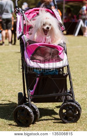 SNELLVILLE, GA - MAY 14 2016:  A dog yawns while sitting in a baby stroller at the Pawfest dog festival in Snellville GA on May 14 2016.