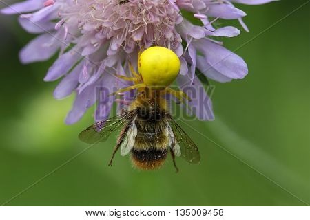 A goldenrod crab spider or flower crab spider (Misumena vatia) with a bumblebee.