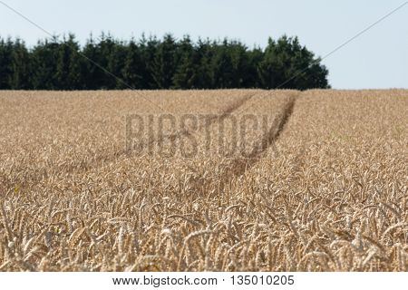 Tractor tracks through the middle of a mature cornfield