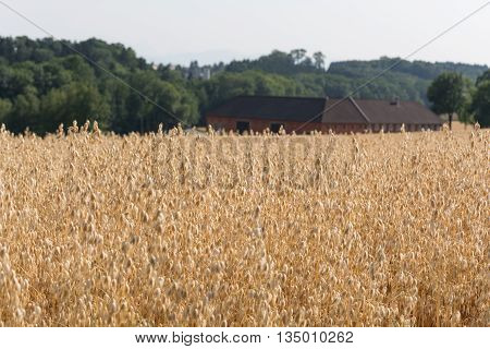 Cornfield with oats - large farm in the background