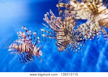 Poisonous Lionfish In Blue Water Sea