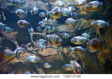 Flock Of Piranhas Among Rocks In River