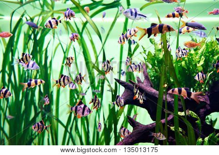 The aquarium fishes - barbus puntius tetrazona