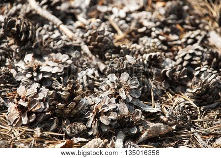 Texture Of Fir Or Pine Cone. Autumn Season Greeting Card. Copy Space Or Your Free Text Here For Advertisement