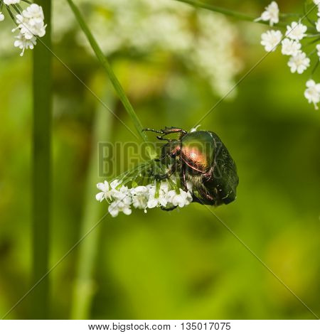 Green Rose Chafer Cetonia Aurata feeding on white flowers of Bishop's weed macro selective focus shallow DOF