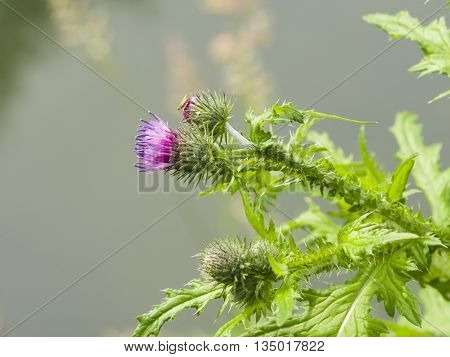 Blooming Thistle Carduus flower and buds macro with bokeh background selective focus shallow DOF