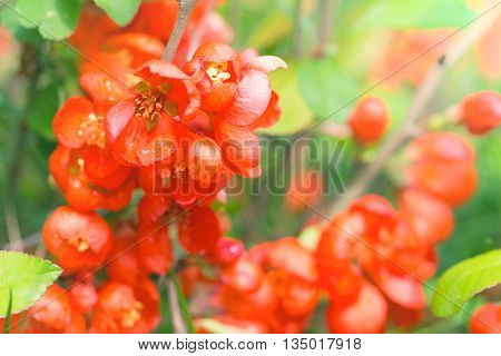 Red flowers of the Japanese quince.Flowers hav e blossomed and are lit with the sun foliage light green. Close up small depth of sharpness