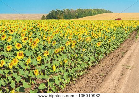 Field road through flowering sunflowers on a sunny summer day. Harvested fields and a forest belt in the background against a blue cloudless sky