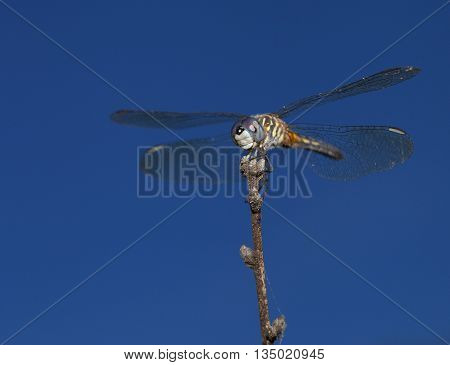 Blue eyed dragonfly waiting patiently for a bug to eat