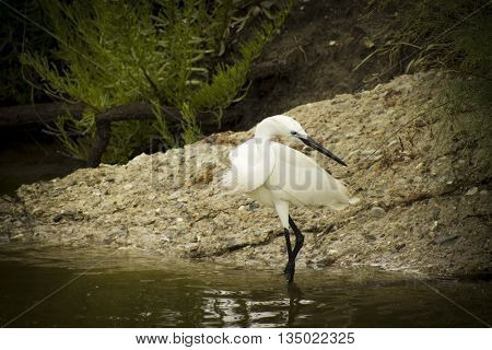 great white egret wades in wetland pond