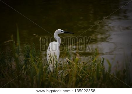great white egret wades in wetland pond