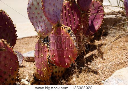 Purple Prickly Pear cactus from the state of Arizona