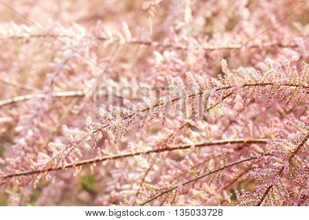 Beautiful pink tamarisk in botanical garden, close up