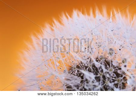 Dandelion on orange background, macro