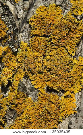 Yellow lichen growing on a tree bark