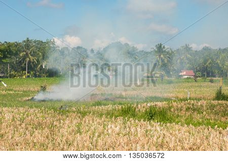 Slash and Burn on a Ricefield in Ubud Bali