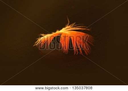 Bright pink and white feather of a scarlet ibis Eudocimus ruber on a black background