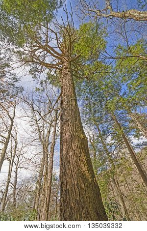 Looking up at a Forest Giant in Great Smoky Mountains in Tennessee