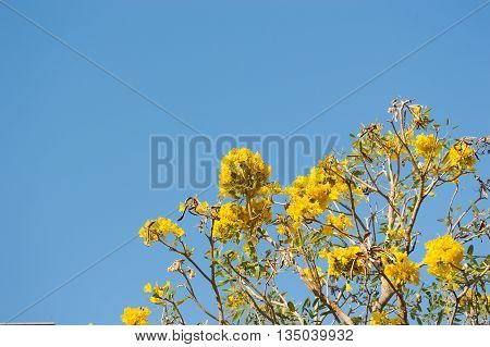 Silver Trumpet Tree, Tree of Gold on sky background