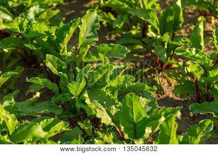Spinach Growing In Garden.