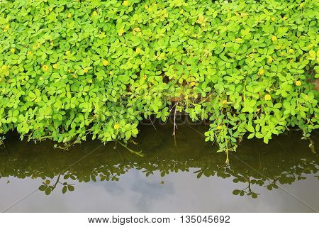 Aquatic weed with reflection from the water