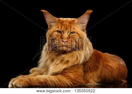 Furry Red Maine Coon Cat Lying and Looking in Camera Isolated on Black Background