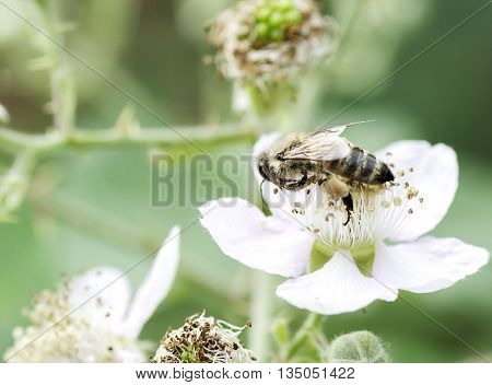 bee collects nectar on a flower of black berry