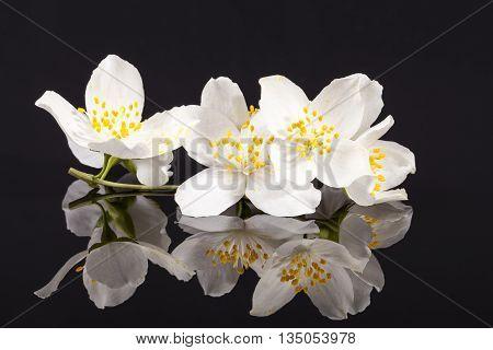 Jasmine flowers on black background close up.