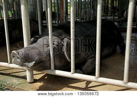 Black Pig Breeder