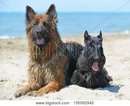 german shepherd and scottish terrier lying down on the beach