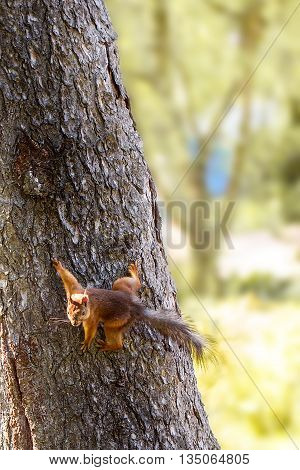Young  squirrel in the forest in the wild. Red squirrel. Close-up squirrel on a tree