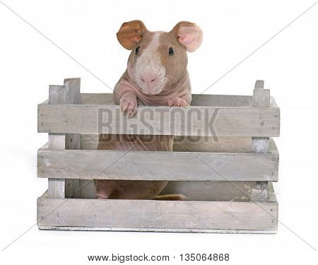 skinny guinea pig in front of white background