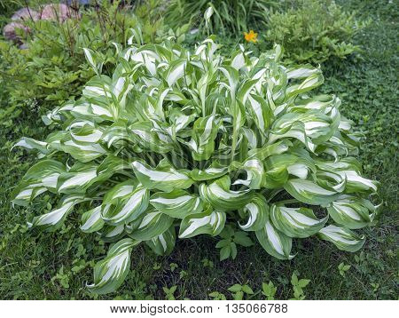Bright Hosta Funkia in the garden. Green striped Plantain lily leaves