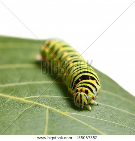 Front low angle view of vermin caterpillar on leaf isolated on white