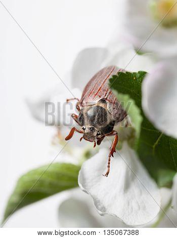 Maybug Beetle In Fruit-tree  Orchard