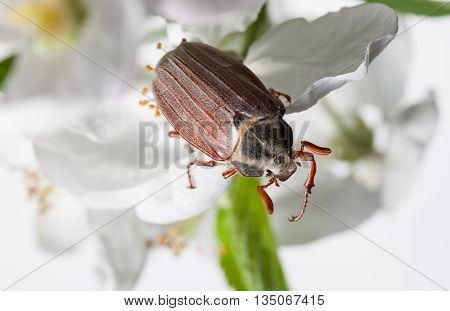 Macro Of Cockchafer In Orchard