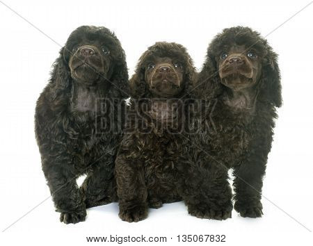 puppies poodles in front of white background