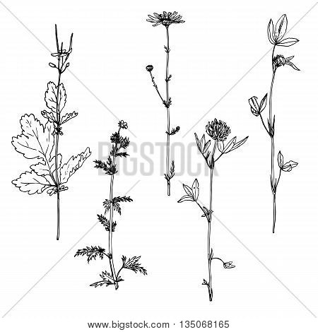 Set of ink drawing wild flowers with leaves, line drawing wild plants, botanical illustration in vintage style, isolated drawing floral set, hand drawn vector illustration