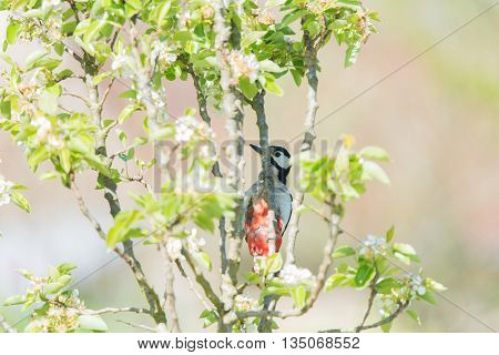 Female great spotted woodpecker on branch in blossom tree