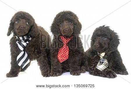 puppies poodle in front of white background