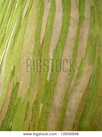 bark texture of tropical tree eucalyptus deglupta