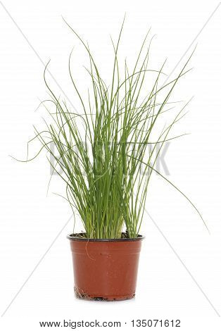 fresh chives in front of white background
